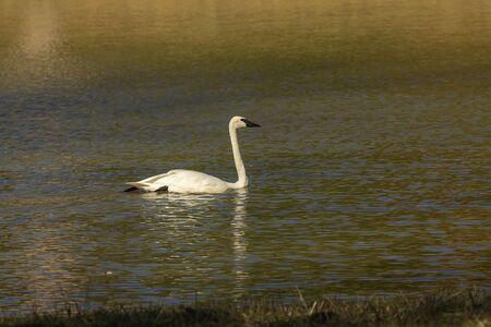 The trumpeter swan (Cygnus buccinator) on the lake. Beautiful  North American species of swan. Native species of north America. Фото со стока