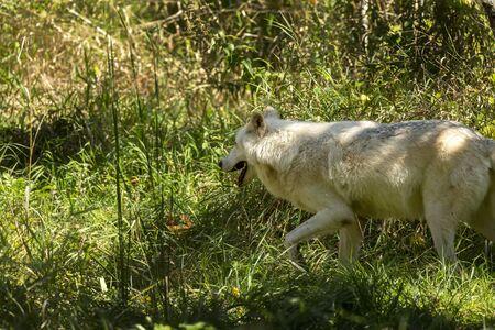 Lobo gris, lobo de madera, Canis lupus. Lobo salvaje de madera blanca. Escena del entorno natural de la vida silvestre de América del Norte. Un lobo en un entorno de bosque natural en los rayos de la mañana del sol naciente. Foto de archivo
