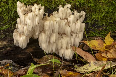lions mane  (Hericium erinaceus )also called  monkey head mushroom, bearded tooth mushroom, satyrs beard, bearded hedgehog mushroom, pom pom mushroom, or bearded tooth fungus Imagens