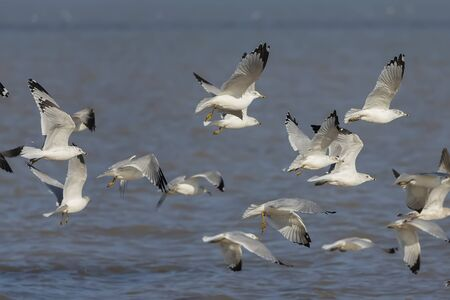 Flock of Gulls Over Lake Michigan