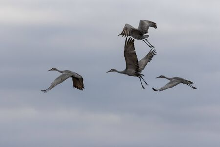 The sandhill cranes on fly