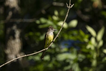 Great crested flycatcher in the spring near the nest Imagens