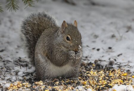 Squirrel. Eastern gray squirrel in the snow looking for seeds under the feeder Banco de Imagens
