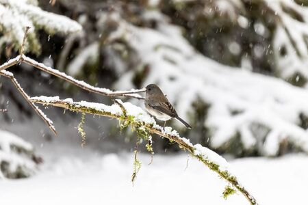 Dark eyed junco on winter in Wisconsin