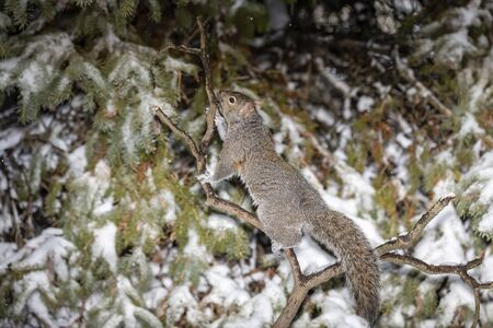 Squirrel. Eastern gray squirrel in the snow, natural scene from wisconsin