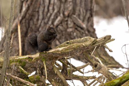 Squirrel. Eastern gray squirrel, dark form in a snowy forest, natural scene from wisconsin
