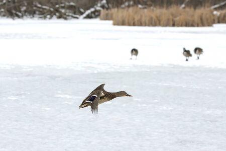 Duck. Mallard duck in flight.Natural scene from wisconsin conservation area. 스톡 콘텐츠