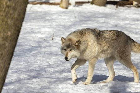 Grey wolf (Canis lupus) also known in north america as Timber wolf in winter.