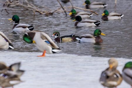 Duck. Mallard  ducks and wood duck in the nature environment. Winter time in Wisconsin state area
