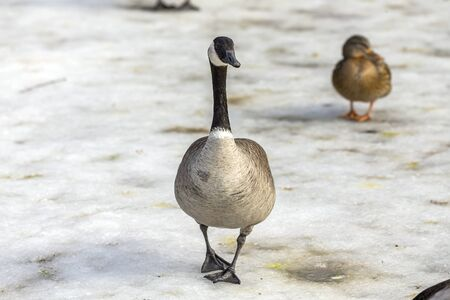 Canadian goose with mallard ducks on a frozen pond.Natural scene from Wisconsin.