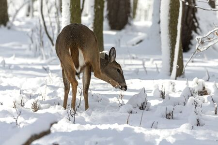 Deer. White-tailed deer on snow . Natural scene from Wisconsin state park. Hind and older fawn.