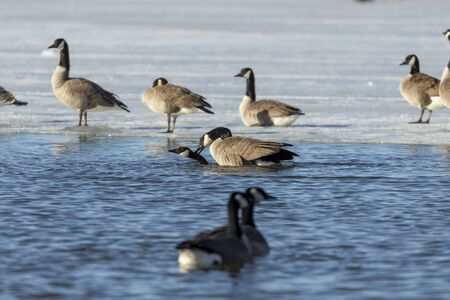 Bird. Mating Canadian geese on the river. Natural scene from north USA