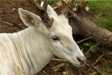 Rare white deer . Natural scene from conservation area in Wisconsin. 免版税图像
