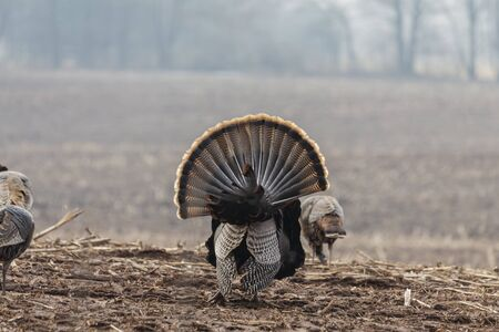 Wild turkey. Wild turkey is American native animal.