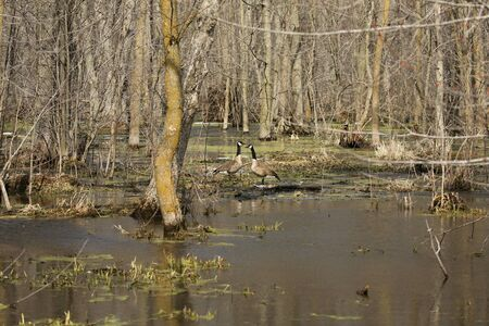 Canadian geese in a flooded spring forest