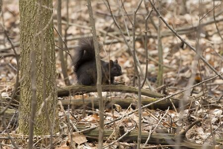 The black squirrel in Wisconsin state park. Rare mutation of both the eastern gray and fox squirrel.