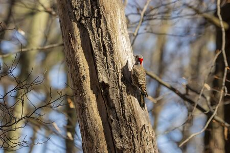 Bird. The northern flicker in spring. Natural scene from state park of Wisconsin.