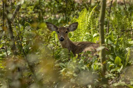 Cerf de Virginie dans la forêt de printemps.