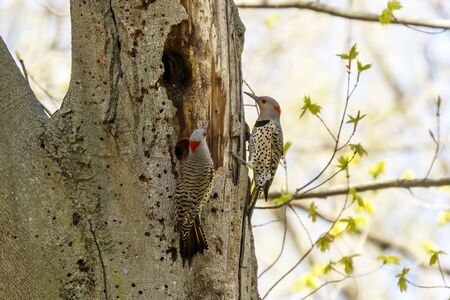 Bird. The northern flicker in spring. Natural scene from state park of Wisconsin. Stock Photo