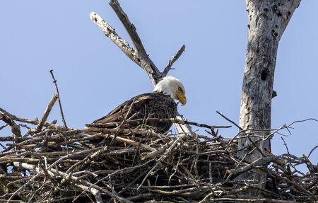 The Bald Eagle, female on the nest