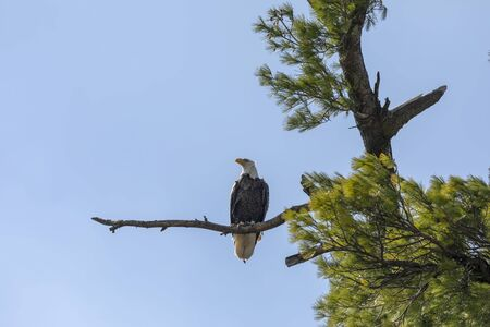The Bald Eagle, female on the nest