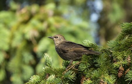 Young  European starling sitting on te spruce. 版權商用圖片