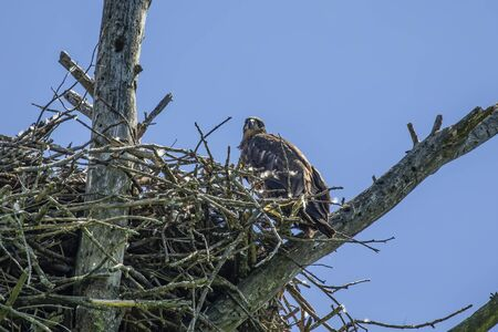 Young bald eagle on the nest. Natural scene from Wisconsin state park.