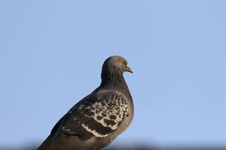 Feral pigeons called city doves, city pigeons, or street pigeons. The bird that have returned to the wild.