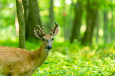 Young white tailed deer with growing antlers in velve
