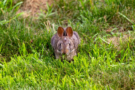 Young wild rabbit grazing in the meadow