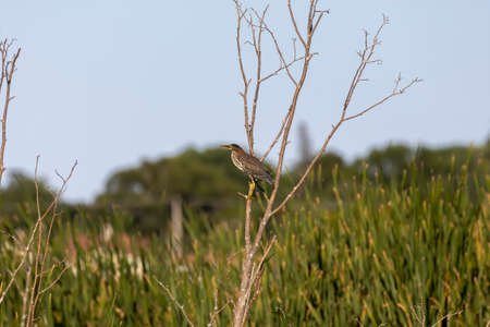 The green heron on marsh.Natural scene from Wisconsin state conservation area.