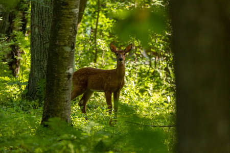 The white-tailed deer, fawn in early forest
