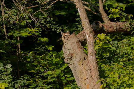 Young raccoon on a dry tree