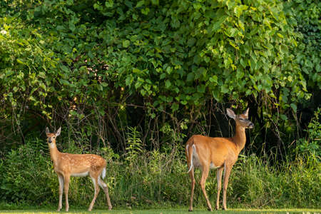 White -tailed deer, fawn and hind at the edge of the forest Banque d'images
