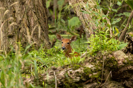 White -tailed deer,fawns in the marsh.