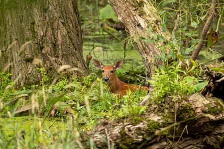 White -tailed deer,fawns in the marsh. Banque d'images