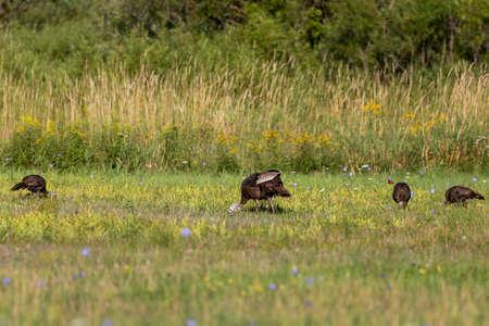 Wild turkeys on the meadow.