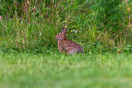 Wild rabbit on the meadow