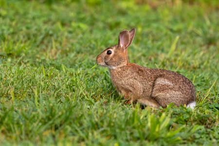 Wild rabbit on a morning pasture