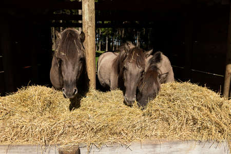 Wild horse, descendants of the wild horse tarpan in zoopark.
