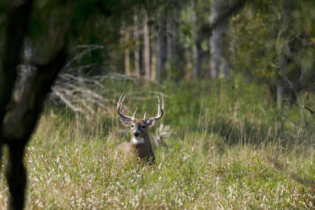 Old white-tailed deer on pasture