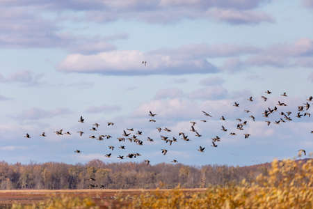 Migration Flock of Greater White-fronted Geese