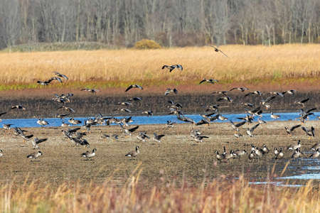 Flocks of Migration Flock of Greater White-fronted Geese and Canadian geese