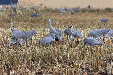 A Flock of sandhill cranes in the field