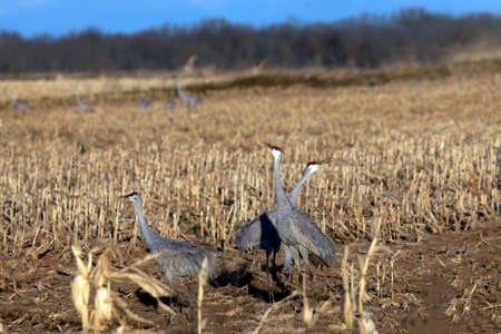 The flock of sandhill cranes on the field