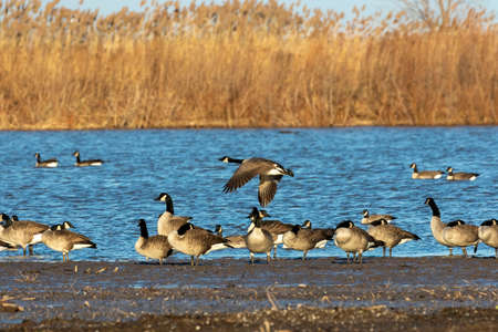 Flock of Canadian geese on lake Michigan.