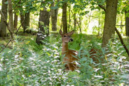 White-tailed deer , hind on pasture 免版税图像