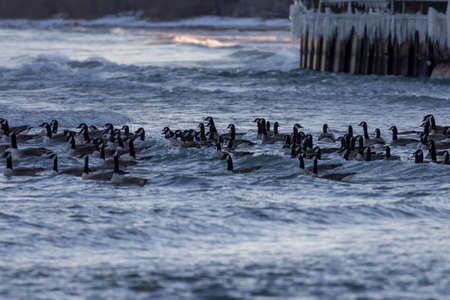 Flock of Canada geese on the waves. Night scene from shore of lake Michigan.