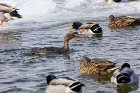 Red-breasted merganser and mallards on the freezing river