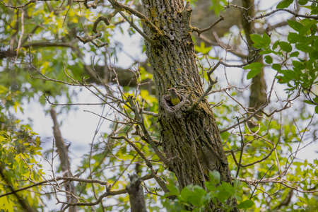 Great Crested Flycatcher (Myiarchus crinitus) during nesting